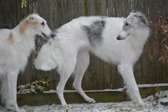 Two Borzoi playing in the snow. Borzoi also known as russian wolfhounds love cold weather and snow Royalty Free Stock Images