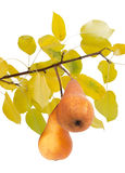 Two a Bosc pear on a branch with yellow leaves Stock Image