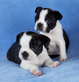 Two Boston terrier littermates Royalty Free Stock Image
