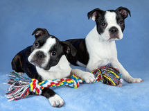 Two Boston terrier pups with toy Stock Images