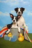 Two Boston Terriers in a Bath Tub. Two Boston Terrier puppies sit in a bath tub with a towel,rubber ducks, and sponge Stock Images