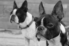 Two boston terriers looking forward in black and white Royalty Free Stock Photos