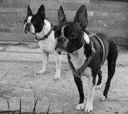 Two boston terriers outside house in black and white Royalty Free Stock Photography