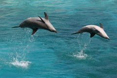 Two bottle nose dolphins. Jumping in clear blue water Royalty Free Stock Photography