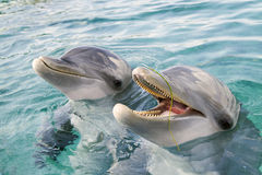 Two bottle-nosed dolphins. Close up with one with mouth open laughing Royalty Free Stock Photography