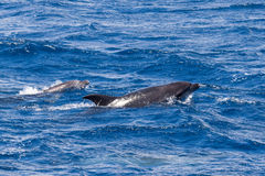 Two Bottle-nosed Dolphins swimming in Ocean near Sao Miguel, Azores Royalty Free Stock Images