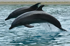 Two Bottlenose Dolphin jumps. GOLD COAST, AUS - NOV 11 2014:Bottlenose Dolphins jumps. It's the most common species of dolphin kept in dolphinariums as they are stock image