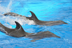 Two bottlenose dolphins in blue water Royalty Free Stock Image