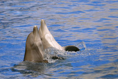 Two bottlenose dolphins Stock Photo