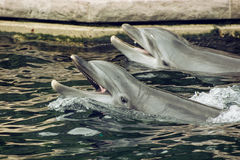Two Bottlenose dolphins in the water Royalty Free Stock Image