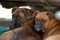 Two boxer dog female. Two female boxer look elsewhere Stock Photos