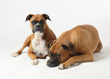 Two boxer dogs. Male and female purebred boxer dogs on white background stock image