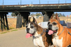 Two Boxer Dogs. Two male boxer dogs in a park Royalty Free Stock Images