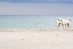 Two Boxer Dogs on the Beach Royalty Free Stock Photography