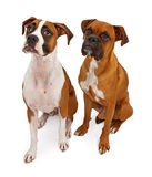 Two Boxer Dogs Isolated on White Royalty Free Stock Photo