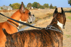 Two boxer dogs outdoors in a park. Two male boxer dogs outdoors in a park Stock Image