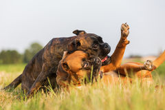 Two boxer dogs scuffle on the meadow Royalty Free Stock Photography