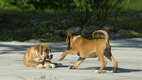 Two Boxer Puppies play with each other. Stock Photos