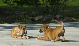 Two Boxer Puppies play with each other. Royalty Free Stock Image