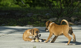 Two Boxer Puppies play with each other. Royalty Free Stock Photos