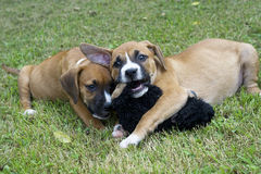 Two Boxer Puppies play with each other. Stock Photo