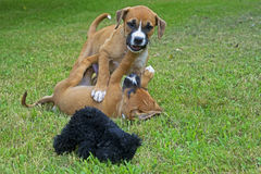 Two Boxer puppies play together. Stock Image