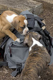 Two boxer Puppies Playing on Backpack Stock Photo