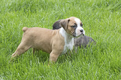 Two Boxer Puppies Playing in Green Grass Stock Images