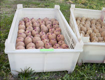 Two boxes with of seed potatoes Royalty Free Stock Image