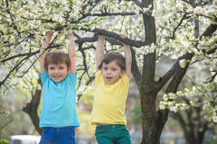 Two boys brothers kids hanging from a blossom spring tree Royalty Free Stock Photography