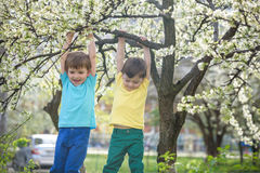 Two boys brothers kids hanging from a blossom spring tree Stock Image