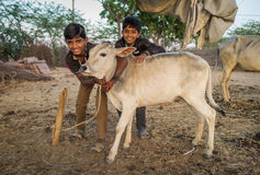 Two boys and calf. GODWAR REGION, INDIA - 12 FEBRUARY 2015: Two boys from Rabari tribe and calf. Loss of tradition gains pace from every new generation. Rabari Royalty Free Stock Photos