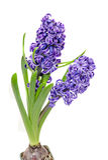 Two branch blue mauve Hyacinthus orientalis flowers Stock Image