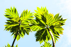 Two branch of breadfruit trees Royalty Free Stock Photo