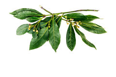 Two branches of bay laurel leaves Royalty Free Stock Images