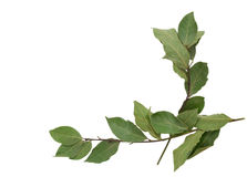 Two branches of bay leaves on a white. Two branches of bay leaves isolated on a white background Stock Image
