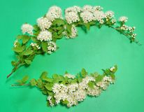 Two branches of blooming white spirea on a green background. cop. Y space for text or logo Royalty Free Stock Photography