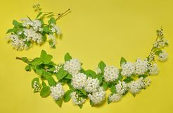 Two branches of blooming white spirea on a yellow background. co. Py space for text or logo Stock Image