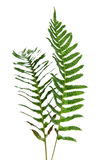 Two branches of fernery. Two branches of fernery on white surface Stock Photography