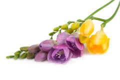 Two branches of freesia. Stock Photo