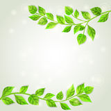 Two branches with green leaves Stock Photo