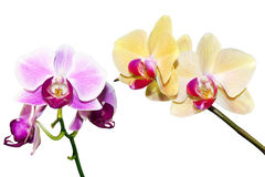 Two branches of the orchid Royalty Free Stock Images