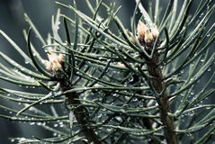 Two branches of pine with drops Royalty Free Stock Photography