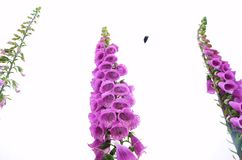 Three branches of purple flowers. royalty free stock images