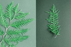 Two branches of thuja. a large branch of thuja on a light gray background, a small branch on a dark gray background. equilibrium royalty free stock photography