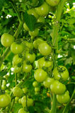 Two branches of tomato with green unripe fruits Royalty Free Stock Photo
