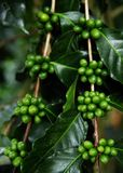 Two branches with unripe fruits of the coffe tree. Coffee plantations in Quindio - Buenavista stock photography
