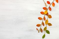 Two Branches With Colorful Autumn Leaves On A White Shabby Wooden Background. Flat Lay Stock Photo