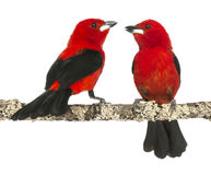 Two Brazilian Tanager perched on a branch. Ramphocelus bresilius - isolated on white Stock Image