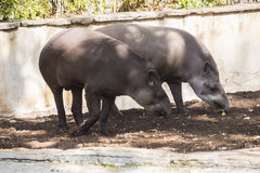 Two brazillian tapir looking for food on earth.  Stock Photos